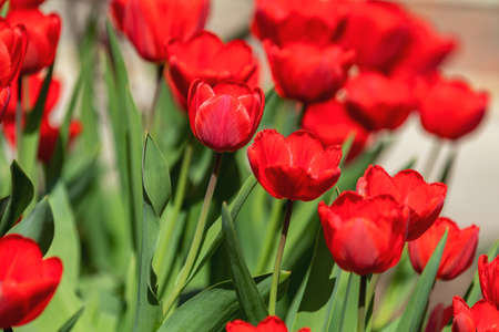 Beautiful Red Tulips with Green leaf in the Garden with Blurred many Flower as background of red Blossom Flower in the Park.