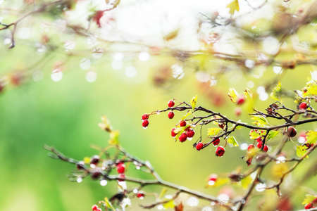 Hawthorn with red berry on the branch, autumn rain water drops, bokeh, shallow depth of the field, toned Stock Photo - 109102386