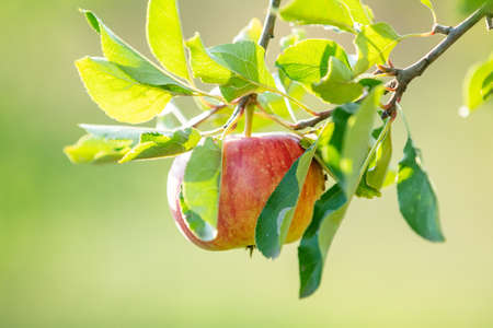 Fresh raw red apple on the branch in the garden on sunny day. Close up, shallow depth of the field. Stock Photo - 109230231