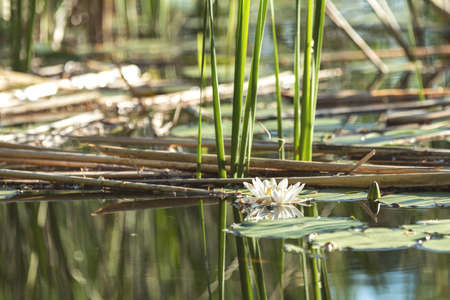 White water lily in a pond. Nymphaea alba. Beautiful white water lily and tropical climates. Water lily background. A living embodiment of the fantasy of nature. Stock Photo