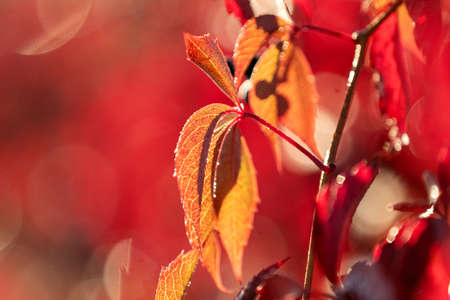 Colorful autumn virginia creeper, wild grape background with water drops in the sunruse close up. Beautiful background, small depth of field.