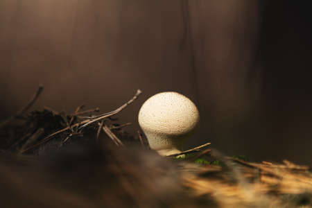 The mushroom Lycoperdon perlatum known as the common puffball, warted puffball, gem studded puffball
