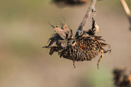 Dried sunflower with grains against sunset sunlight, backlight, bokeh, shallow depth of the field. Stock Photo