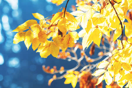 Beautiful amazing sunny autumn background with yellow fall leaves against blue sky, backlight, bokeh, shallow depth of the field. Stock Photo