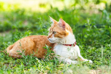 Cute funny red white cat in red collar relaxing on the green grass in the summer garden. Sunset, dolly shot, shallow depth of the field Stock Photo