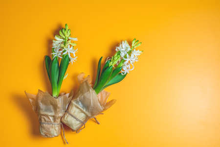 Two white hyacinths on yellow surface background. Minimalism, top view, copy space for text. Happy Easter, Mothers day, birthday, wedding marriage festive background.