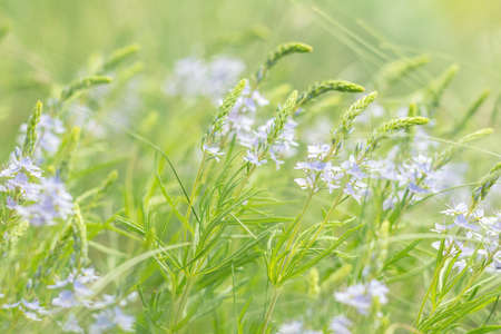 Green juicy grass and gentle blue flowers in the field on a sunny day. Stock Photo