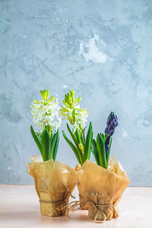Two white hyacinths and blue hyacinth in pots on pink and blue concrete surface background. Minimalism, copy space for text. Happy Easter, Mothers day, birthday, wedding marriage festive background.