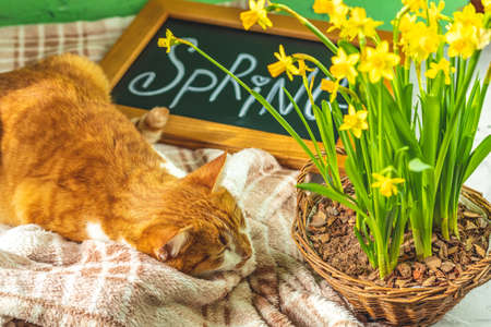 Calligraphic inscription hand lettering letters spring on black chalkboard standing on green concrete surface with yellow blossom narcissus in wicker basket and cute red white cat. Spring coming concept background.