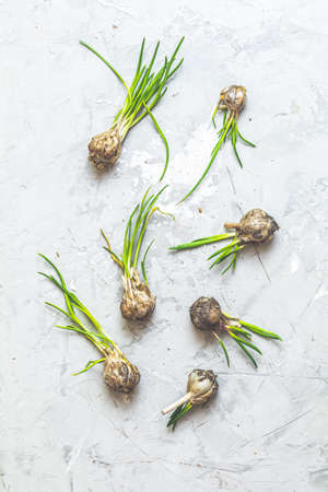 Many heads of garlic with green sprouts lie on light gray concrete table background. Top view, copy space for you text