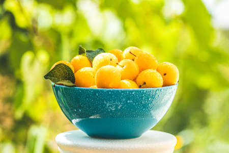 Handful of yellow cherry plums with water drops in blue bowl on the green nature background with sunny light in the garden Stock Photo - 128015677