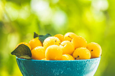Handful of yellow cherry plums with water drops in blue bowl on the green nature background with sunny light in the garden Stock Photo - 128015686