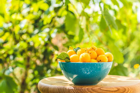 Handful of yellow cherry plums with water drops in blue bowl on the green nature background with sunny light in the garden Imagens