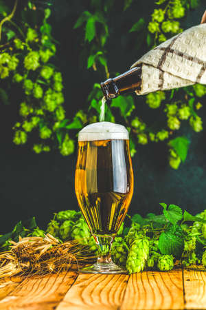 Pouring beer in glass. Still life with beer and hop plant in retro style. Glass of cold foamy beer and hop on a dark background.