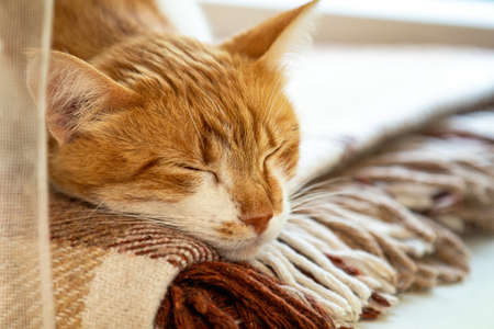 Red and white kitty sleeping in warm wool plaid blanket on a windowsill. Cozy home concept Coloring and processing photo 写真素材