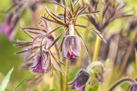 Eastern pasqueflower, prairie crocus, cutleaf anemone with water drops, dolly shot, shallow depth of the field Stock Photo - 138456728