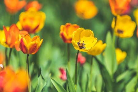 Beautiful colorful tulips with green leaf in the garden with blurred many flower as background of colorful blossom flower in the park. Stock Photo - 138456316