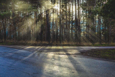 Beautiful sunny day in late autumn pine forest. Sun rays through the trees. View from asphalt road. 스톡 콘텐츠