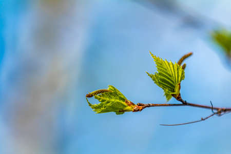 Birch twig with young foliage on blurred trees and blue sky background at springtime. Coloring and processing photo. Toned. Shallow depth of field. Stock Photo - 138456559