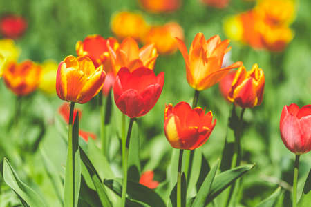 Beautiful colorful tulips with green leaf in the garden with blurred many flower as background of colorful blossom flower in the park. Stock Photo - 138456589
