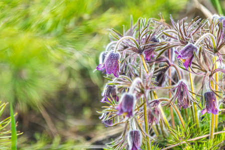 Eastern pasqueflower, prairie crocus, cutleaf anemone with water drops, dolly shot, shallow depth of the field Stock Photo - 138456726
