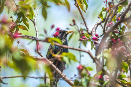 Common starling (Sturnus vulgaris) on a pink apple tree blossom branch in the city park on spring sunny day. Beautiful nature background. Toned photo, shallow depth of the field. Stock Photo - 138456432