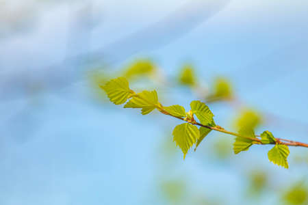 Birch twig with young foliage on blurred trees and blue sky background at springtime. Coloring and processing photo. Toned. Shallow depth of field. Stock Photo - 138456722