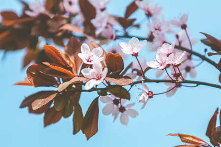 Pink blooming tree in the park. Close up of pink blossom plum tree branch, Prunus cerasifera Nigra, during spring season on blue pink background Stock Photo - 138456312