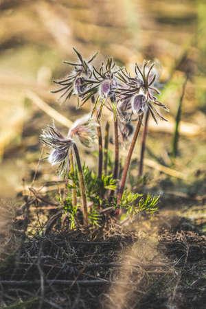 Eastern pasqueflower, prairie crocus, cutleaf anemone (Pulsatilla pratensis). Dolly shot, shallow depth of the field Stock Photo - 138456442