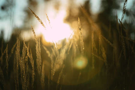 Various herbs and ears in the golden sunset light of the sun. Autumn grass with the backlight of sunlight in the evening. Stock Photo - 138456337