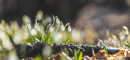 Panoramic view to spring flowers in the forest. White blooming snowdrop folded or Galanthus plicatus in the forest background. Spring day, dolly shot, close up, shallow depths of the field.