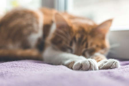 Cute foot and tail of cat. Red and white kitty out of focus sleeping in warm wool plaid blanket on windowsill. Morning sunlight on the sleeping red cat Cozy home concept