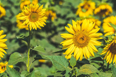 Beautiful sunflower on field. Sunflower field, growing sunflower oil beautiful landscape of yellow flowers of sunflowers. Agriculture Stock Photo