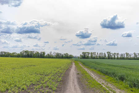 Picturesque pea and wheat fields on both sides dirt road and blue sky background. Beautiful spring sunny cloudy day in the countryside. Stock Photo
