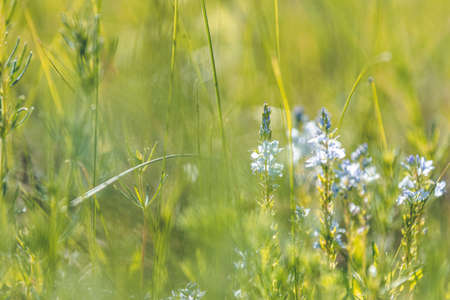 Summer background art with blue flowers and green grass. Sunny day, close up, shallow depths of the field. Meadow with flowers