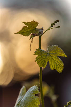 Branch of young grapes on a background of the setting sun, young vine branch. Stunning spring distillery agriculture backdrop