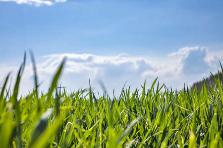 The field of young wheat under blue sky spring backdrop. Background green grass. Agriculture concept.