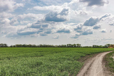 Picturesque pea field with dirt road and blue sky background. Beautiful spring sunny cloudy day in the countryside.