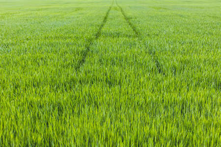 The field of young wheat. Background green grass. Agriculture concept. Rows of young sprouts of wheat.