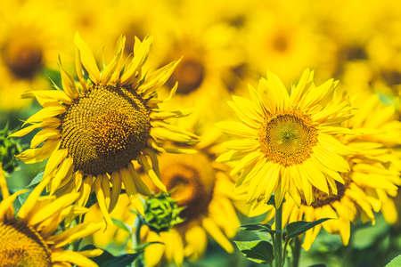 Prettiest sunflowers field. Closeup of sunflower on farm. Rural landscape.