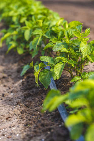 Cultivation of potatoes with drip irrigation. Growing spud, photo with perspective. Fresh tops close up. Agriculture.