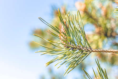 Pine tree with three species pine cones in the spring forest on the blue sky spring background