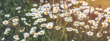 Panoramic view to spring background art with beautiful spring chamomile flowers. Green field with white daisies. Closeup of white spring flowers on the ground Stock Photo