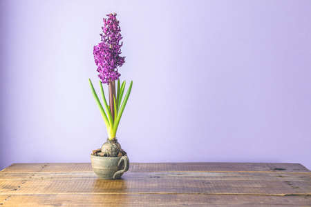 Bright claret colorful hyacinth flowers blooming. Holiday bouquet. Stock Photo