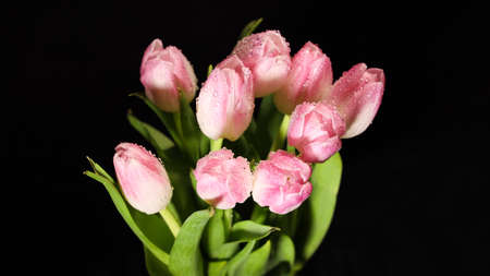 Bright pink white colorful tulips flowers blooming on dark background. Holiday bouquet