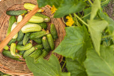 Fresh green and white cucumbers in the wicker basket  in the garden surrounded cucumber plants with green leaves and yellow flowers. Raw fresh real organic food.