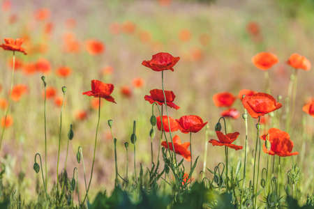 Background of a summer field of red blooming poppies close up on a sunny windy day, close up, shallow depth of the field