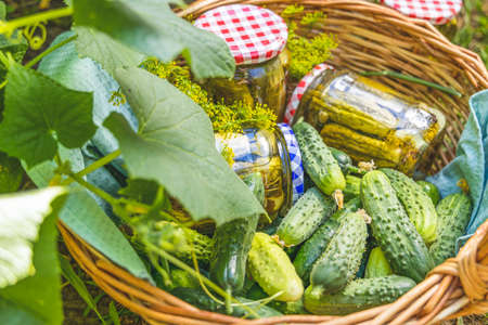 Basket with pickled cucumbers and ingredients in the garden surrounded cucumber plants with green leaves and yellow flowers. Raw fresh real organic food.