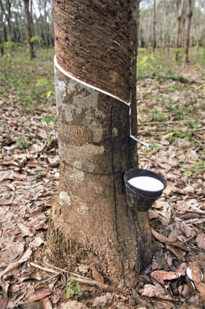 Extraction of latex from a tree, for use in rubber production - Labis, Johor, Malaysia Stock Photo - 76360753
