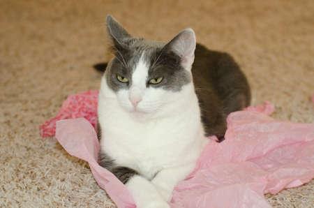 resting: Cute cat resting indoors. Stock Photo